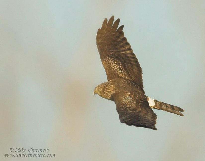 Graceful flight of a Northern Harrier