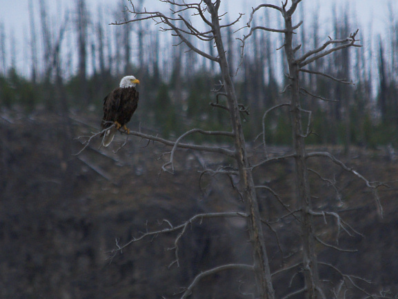 we found this bald eagle perched above the Firehole River after taking a wrong turn on the Mystic Falls trail