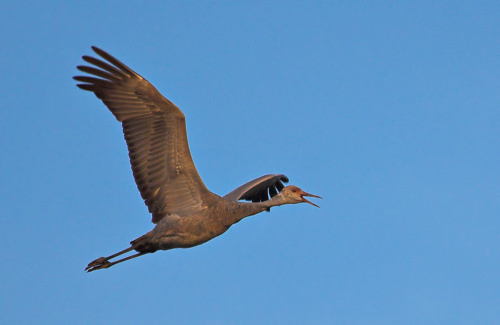 Sandhill Crane in early morning light at Quivira NWR