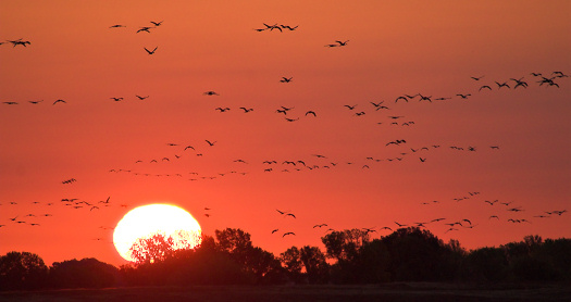 Sandhill Cranes leaving roost, flying towards the nearby fields at sunrise.